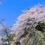 高石垣と桜