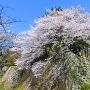 巽櫓跡と桜