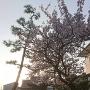 円通寺山門と桜