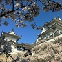 桜満開の天守