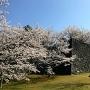 桜満開の城代屋敷跡(筒井古城跡)石垣