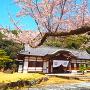 桜と本丸御殿