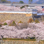 桜あふれて(1)