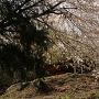 入口付近の桜