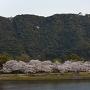 桜並木と岩国城