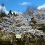 城址入口と桜