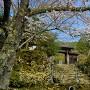 百済寺山門(石垣と桜)