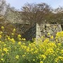 菜の花と石垣