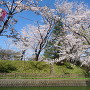 桜祭り会場3