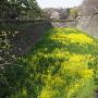 堀底に咲く菜の花(?)