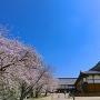 本丸御殿と天守台前の桜