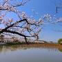 南西の堀端に咲く桜