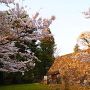 夕日浴びる桜と石垣