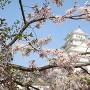 桜と天守②