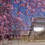 桜と稲荷櫓