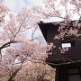 太鼓櫓と桜