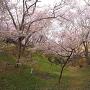 空堀に咲く桜