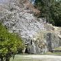大矢倉と桜
