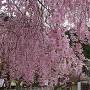 垂れ桜と一豊像