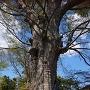 樹齢640年のケヤキ