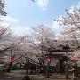 桜満開の山家城址