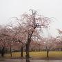 小竹薮に咲く桜