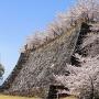 桜に好かれた高石垣