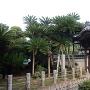 能満寺の大蘇鉄