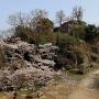 苗木城址に春が来た。