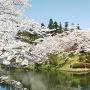 舞鶴城の桜