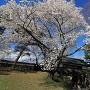 冠木門と満開の桜