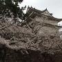 桜と伏見櫓
