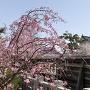 桜越しの隅櫓