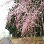 登城口と桜
