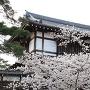 満開の桜と表門