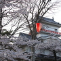 満開の桜と御隅櫓