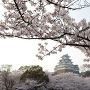 天守と満開の桜