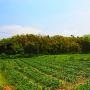土塁と玉ねぎ畑