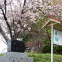 散り急ぐ桜と石碑・説明板
