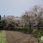 城域北側に咲く桜