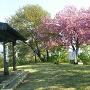 本丸跡に咲く八重桜