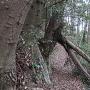 武者走りの倒木