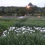 曽根公園の花しょうぶ其の壱