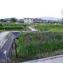 曽根公園の花しょうぶ其の弐