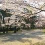 本丸跡の桜