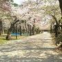 本丸跡(一の門前)の桜