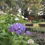 紫陽花と本丸土塁