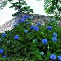江戸城 天守台と紫陽花