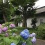 紫陽花と富士見多聞