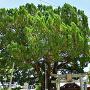 川島神社、市指定天然記念物のイブキと